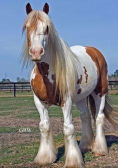 Gypsy Vanner Horse Любовь Лошадей, Красивые Лошади, Лошади Breyer, Цыганская Лошадь, Белые Лошади, Дикие, Котопес, Щенки, Собаки