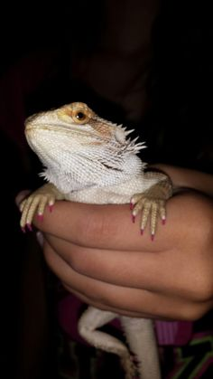 My bearded dragon, Roxi , we painted her nails.
