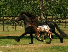 This Flying spotted foal is Lone Star, a Gypsian (Gypsy Vanner-Friesan cross) pictured with his Mum,  Ulleke, a spectacular Friesan mare imported from Belgium. Ulleke & Lone Star were featured in the Friesian Blood Horse Magazine. Click above for a link to  the article.