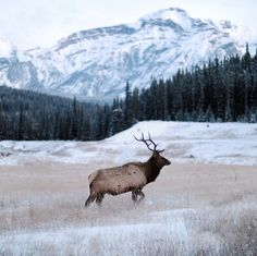 -20°f blue hour. bull elk. banff. alberta. | Processed with … | Flickr