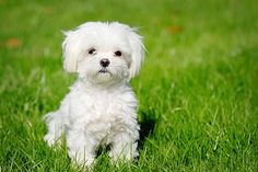 The Bichon Frise is a cheerful, small dog breed with a love of mischief and a lot of love to give. With his black eyes and fluffy white coat, the Bichon looks almost like a child's toy.America's top dog is a bichon frise. Maltese Dog Breed, Maltese Puppies For Sale, Havanese Puppies, Cute Puppies, Cute Dogs, Dogs And Puppies, Maltese Poodle, Maltese Facts, Maltipoo Dog