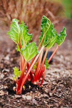 rhubarb111