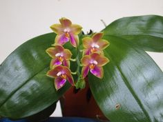 Phal Jessie Lee  Photo: This Photo was uploaded by woollymammothphotos.