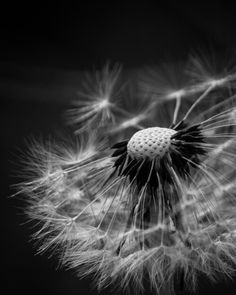 Our backyard has broken out in yellow spots - dandelions. I never realized how intricate and beautiful they are. Captured with a kit lens and natural light. Blink Photography, Dandelion, Seeds, Backyard, Flowers, Nature, Plants, Beautiful, Amazing