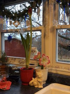The looking at the Amaryllis.