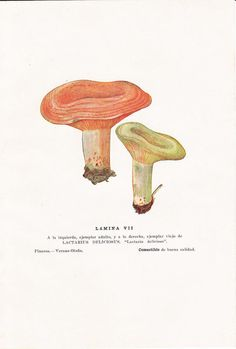 Edible Mushrooms Lactarius deliciosus Vintage Print 1948 Kitchen Decor