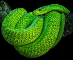 "241 Likes, 2 Comments - Ꮗ Ꭷ Ꮢ Ꮭ Ꮄ   ᎧᎦ   Ꮥ Ꮑ Ꮧ Ꮶ Ꮛ Ꮥ (@world_of_snakes_) on Instagram: ""Green Mamba ➖➖➖➖➖➖➖➖➖➖➖➖…"""