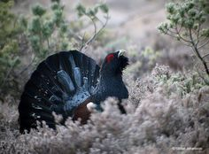 Western capercaillie (Tetrao urogallus) by Stefan Johansson https://www.facebook.com/144196109068278/photos/pb.144196109068278.-2207520000.1419294377./257891141032107/?type=3&theater