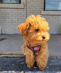 kit Poodle Puppy Miniature, Red Poodle Puppy, Teddy Bear Poodle, Tiny Toy Poodle, Teacup Poodles For Sale, Teacup Poodle Puppies, Poodle Puppies For Sale, Toy Puppies, Cute Puppies