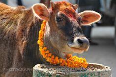 Gaijatra, the cow festival