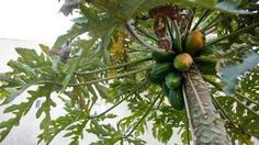 LA Times - Growing papaya: Tips for success, seed to harvest