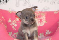 Blue Chihuahua Puppy