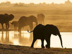 Elephants, Botswana    Photograph by Prince Eleazer