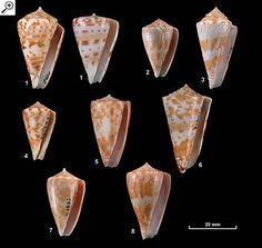Family Conidae Plate 2 of 3 Deep water species  1. Conus angasi 2. Conus cyanostoma 3. Conus howelli 4. Conus minnamurra 5. Conus rufimaculosus 6. Conus sculletti 7. Conus sydneyensis 8. Conus wallangra