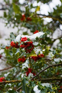 Holly Tree in Snow