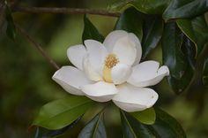 The monastery has hundreds of magnolia trees.