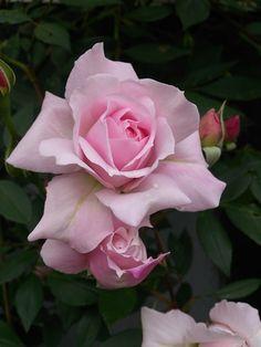 English Shrub Rose: Rosa 'Mortimer Sackler' (U.K., 2002)