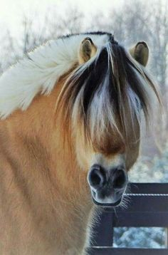 Norwegian Fjord horse - Looks so cute with all that forelock in his face. - Horse breed