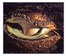 :: Abalone Mariculture :: Delicious Recipes ::
