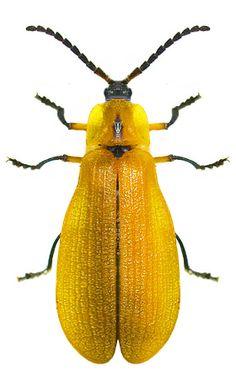 Lycus fulvellus