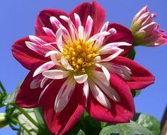 Dahlia: The national flower of Mexico ( Image by Luigi FDV )