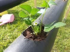 Päivää.. Tässä on jonkin aikaa kypsynyt idea mansikoiden istuttamisesta. Se perinteinen ajatus tietenkin olisi ollut että tehdään maahan ...