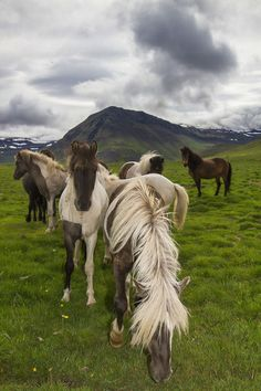 The Icelandic horse. The friendliest creature there is! (scheduled via… All The Pretty Horses, Beautiful Horses, Zoo Animals, Animals And Pets, Island Horse, Icelandic Horse, Majestic Horse, Bull Riding, Horse Girl