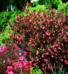 http://bulbsnblooms.com/weigela-39wine-and-ros3939.html