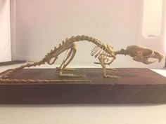 Complete mount rat skeleton