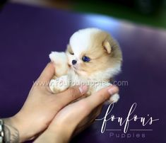 The Most Elegent Parti Colored Teacup Pomeranian for sale - Available Today! Call or Text us and take Aurae home! Pomeranian Colors, Micro Pomeranian, Pomeranian For Sale, Teacup Pomeranian, Cute Animals, Teddy Bear, Pomeranians, Puppies, Pretty Animals