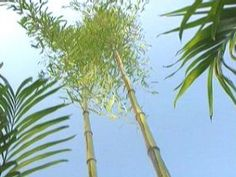 Landscaping How-to: Taming Invasive Bamboo Master gardener Paul James explains how to tame the most rampant runner, invasive bamboo.