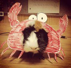 Guinea Crab!