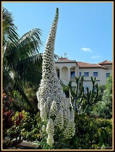 Echium pininana 'Snow Tower' – White flower spike reaching 4.5m/15ft appear in its second year of growth.