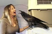 ravens/crows/wild birds as pets