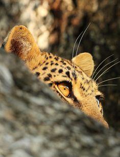 A Leopard's Peering Eyes.