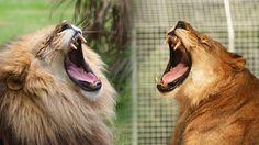 What Happens When You Neuter A Male Lion
