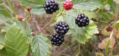 Blackberries turn from red to black after they ripen.