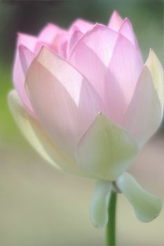 """Lotus Flower. BOARD _ BOKEH COLOR PHOTOGRAPHY http://pinterest.com/a58/bokeh-color-photography/ In Photography, bokeh, Japanese (boke) has been defined as """"the way the lens renders out-of-focus points of light"""". The Background is blurred, out of focus"""