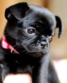 Chug puppy...love my Beautiful chug