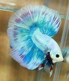 Marble Betta fish