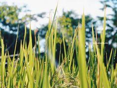 Wisata Edukasi Salak Pondoh dan Susur Sungai di Desa Pancoh #Yogyakarta