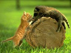 Three colombianos gatos fazem tudo na cam machosa