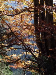 Herbstbäume in Österreich (an der Salza)