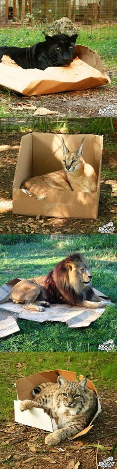 If I fits, I sits. Even the big cats like sitting in/on cardboard. :)