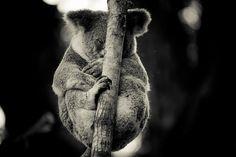 I Got Your Back - koala