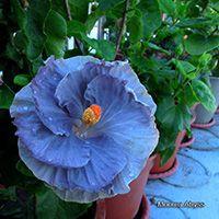Taiwan Hibiscus - Linda Lee Blue Hibiscus, Exotic, Seeds, Bloom, Tropical, Taiwan, Beautiful Flowers, Gardens, Beauty
