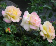 The climbing Peace rose features the same yellow blend Hybrid Tea rose flowers as those growing on the shorter Peace rose bush. But patience is required to coax the best flower show from this stunning