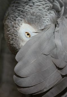 African grey parrot - I'll be watching you...