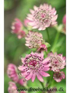 Frø. Astrantia, String Of Pearls, Garden Inspiration, Garden Plants, Perennials, Planters, Art Floral, Mad, Gardening