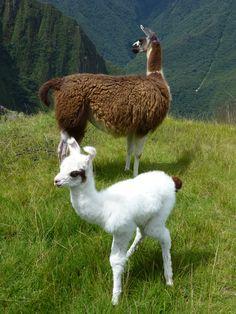 Ein neugeborenes #Lama mit Mutter, Tour durch #Peru